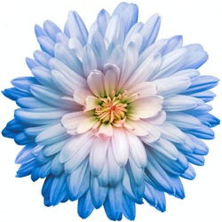 Blue chrysanthemum.  Flower on a white isolated background with clipping path.  For design.  Closeup.  Nature.