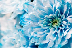 blue chrysanthemum flowers close up