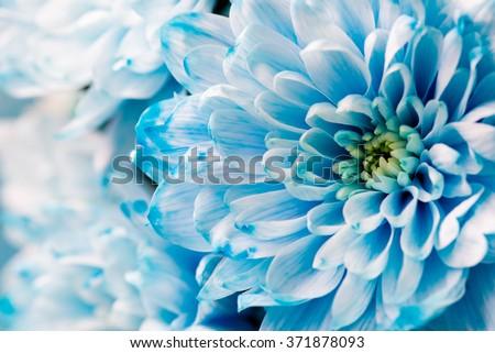 blue chrysanthemum flowers close up #371878093