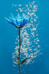 Blue chrysanthemum inside in water on a blue background. Flowers aster under the water with bubbles and drops of water.