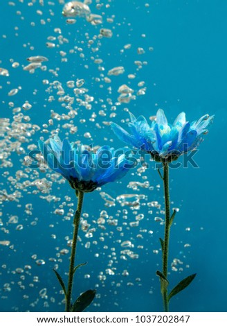 Stock Photo Blue chrysanthemum inside in water on a blue background. Flowers aster under the water with bubbles and drops of water.