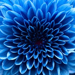 blue chrysanthemum macro.red flower macro.close up flower.abstract background background.