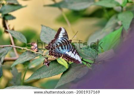 Blue clipper (Parthenos sylvia apicalis, male, family Nymphalidae), Sri Lanka. November Stock photo ©