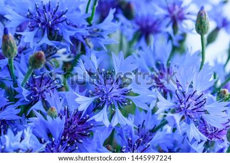 Blue closeup cornflowers, cornflower texture #1445997224