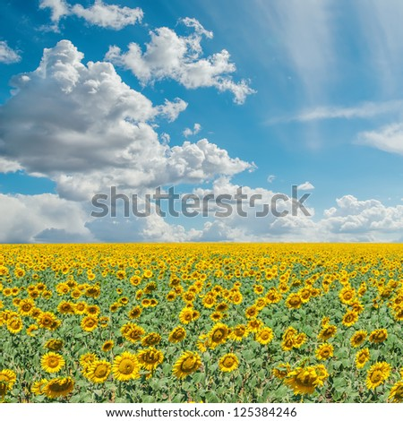 blue cloudy sky and field with sunflowers