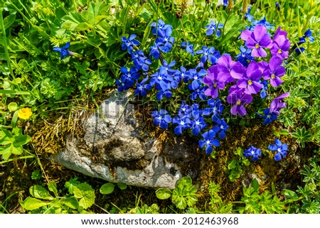 blue cobbler nails and purple alpine violets between rocks and grass in the Alps of Vorarlberg. Spring gentians and lila violet flowers on the green by the way in the valley of Brand, Vorarlberg Foto stock ©