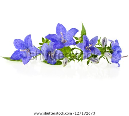 blue color campanula flowers with copyspace isolated on white background