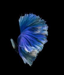 Blue color Siamese fighting fish(Rosetail),fighting fish,Betta splendens,on black background,Fancy Butterfly Halfmoon Betta