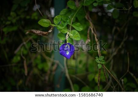 Blue-colored and clitoris-like shaped petals of Clitoria ternatea.