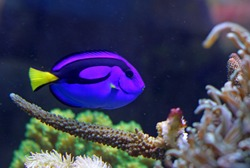 Blue colored tropical fish swimming in the large marine aquarium in search of food