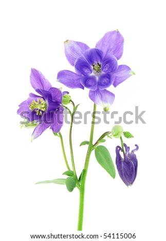 blue  columbine - aquilegia flower