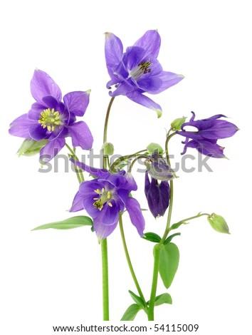 blue  columbine - aquilegia flowers isolated