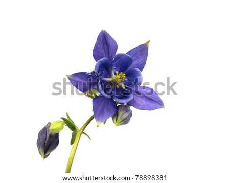 blue columbine - aquilegia flowers on a white background - stock photo