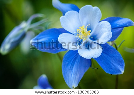 Blue Columbine wildflower blossom and bud growing in Aspen tree forest