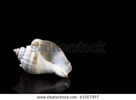 Blue Conch Sea shell on black background with copy space.