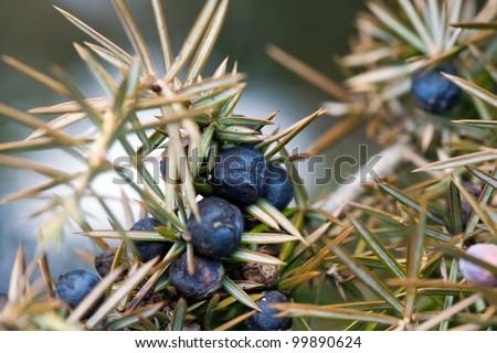 blue cone berries and needles of common juniper Juniperus communis