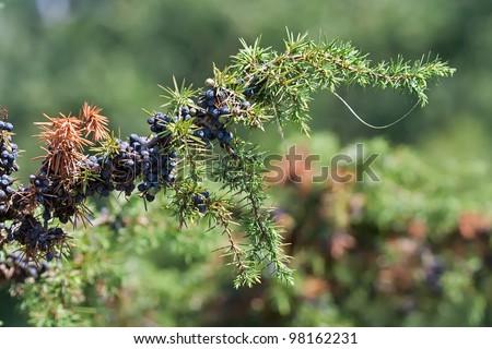 blue cone berries of common juniper or juniperus communis