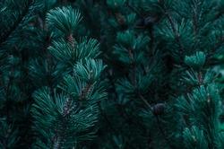 Blue conifer texture