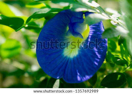 Blue Convolvulus pluricaulis, aprajita  Flower Closeup #1357692989