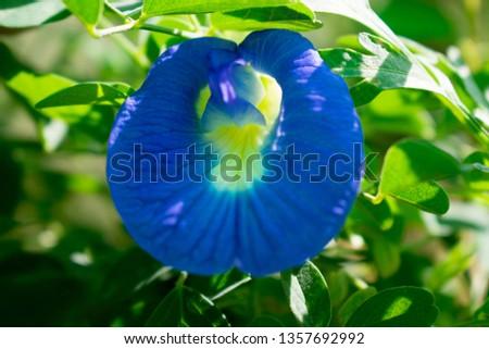 Blue Convolvulus pluricaulis, aprajita  Flower Closeup #1357692992