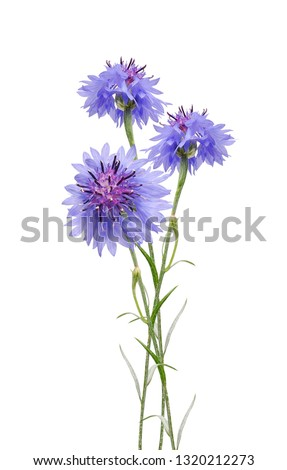 Blue cornflower herb isolated on white background. #1320212273