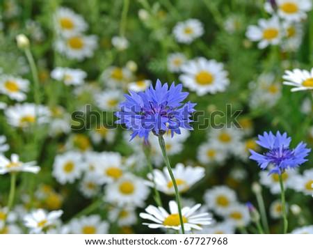 Blue cornflower in wild flower meadow