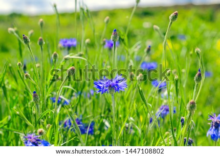 Blue Cornflowers, also called Bachelor's Buttons in the Field on a Bright Summer Day. #1447108802