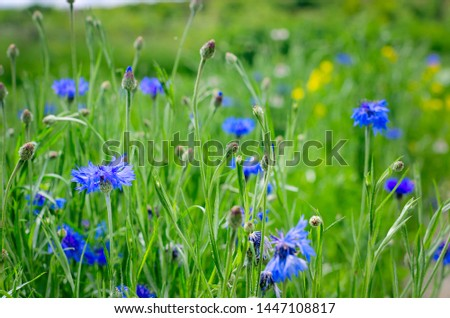 Blue Cornflowers, also called Bachelor's Buttons in the Field on a Bright Summer Day. #1447108817