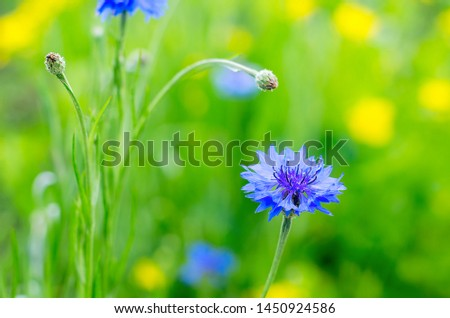 Blue Cornflowers, also called Bachelor's Buttons in the Field on a Bright Summer Day. #1450924586