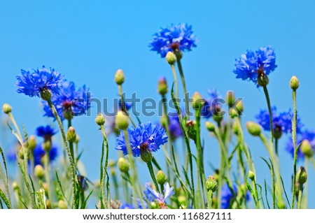 Blue cornflowers and blue sky