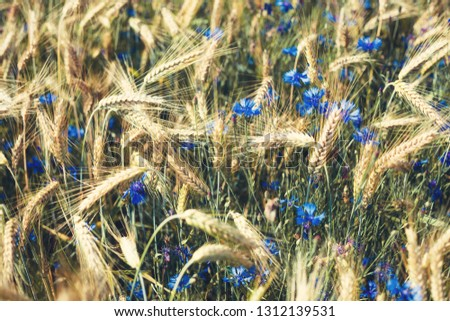 blue cornflowers growing among the field of rye ears #1312139531