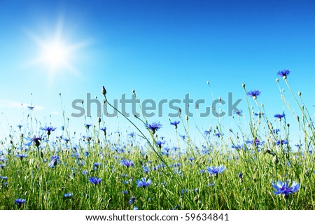 Blue cornflowers in the field,blue sky and sun.