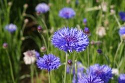 Blue Cornflowers in the garden at japan