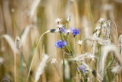 Blue cornflowers in the garden in a rye field. Summer background