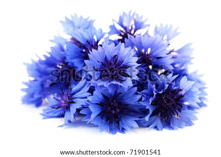 blue cornflowers on white background - flowers and plants