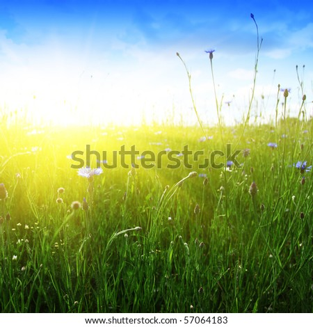 Blue cornflowers,wheat field and sun.