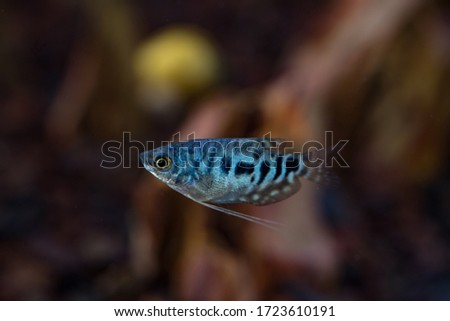 Blue Cosby Gourami, trichogaster trichopterus or Opaline Gouramis. Beautiful aquarium fish, whose body is mottled in black, swim freely in the water and enjoy its new habitat Foto stock ©