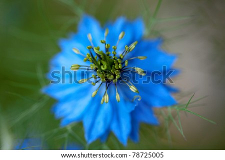 Blue Cosmos Flowers At Beautiful Day Stock Photo 78725005 ...