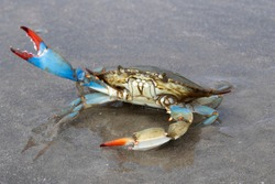 Blue crab (Callinectes sapidus) close up, Texas, Galveston