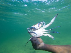 blue crab caught by hand