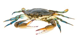 Blue Crab isolated