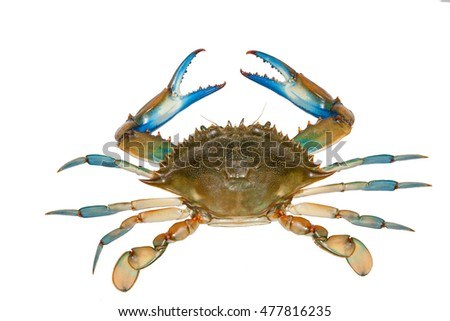Blue crab isolated on white background,top view