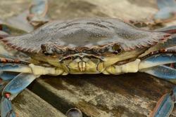 Blue Crab male. Callinectus sapidus. Sneads Ferry, NC. 18 Nov. 2015