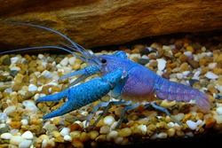 Blue Crayfish in Freshwater Aquarium