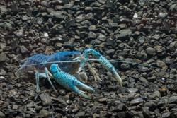 Blue Crayfish on the rock