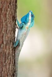 blue crested lizard Calotes mystaceus climbing on tree trunk, thailand