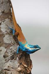 Blue crested lizard Calotes mystaceus (Gonocephalus bellii) climbing on tree trunk, Thailand