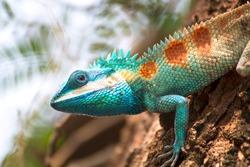 Blue-crested Lizard climbing the tree