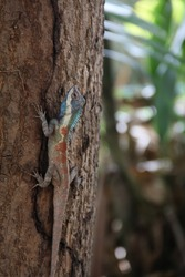 Blue-crested Lizard has very beautiful colors, the body is brown.There is a red circle on the side of the body. From head to back has dark blue green color .The face has white stripe. Phrae Thailand.