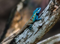 Blue-crested Lizard ,Indo-Chinese Forest Lizard ,Indo-Chinese Bloodsucker